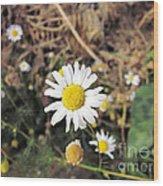 Chamomile In The Garden Wood Print by Marina Logonova