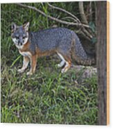 Channel Island Fox Wood Print
