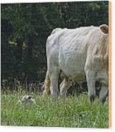 Charolais Cow And Calf In Field Wood Print