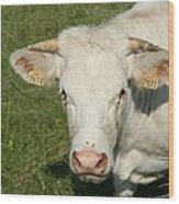 Charolais Cow Wood Print