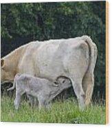 Charolais Cow Nursing Calf Wood Print