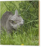Chartreux Cat And Grass Wood Print