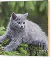 Chartreux Kitten Wood Print