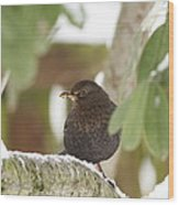 Cheeky Blackbird Wood Print