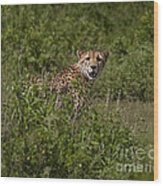 Cheetah   #0095 Wood Print