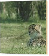 Cheetah At Attention Wood Print