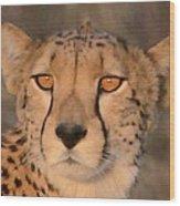 Cheetah Gaze At Sunset Wood Print