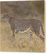 Cheetah In Grassland Kenya Wood Print