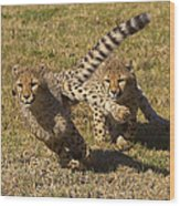 Cheetah Juveniles Playing Wood Print