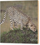 Cheetah On Termite Mound Wood Print