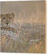 Cheetah Prepares To Sleep Wood Print