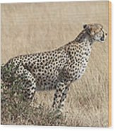 Cheetah Ready For The Off Wood Print
