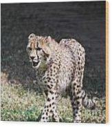 Cheetah Strutting Wood Print