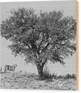 Cheetahs And A Tree Wood Print