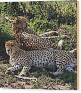 Cheetahs Of The Masai Mara Wood Print