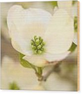 Cherokee Princess Dogwood Blossom In Beige Wood Print