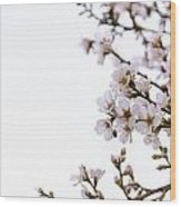 Cherries Blooming In The Spring. Wood Print