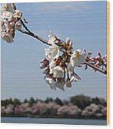 Cherry Blossom Dc Wood Print