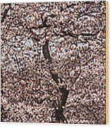 Cherry Blossom Trees In Potomac Park Wood Print