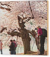 Cherry Blossoms 2013 - 006 Wood Print