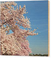 Cherry Blossoms 2013 - 014 Wood Print