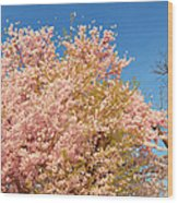 Cherry Blossoms 2013 - 016 Wood Print