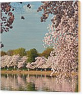 Cherry Blossoms 2013 - 023 Wood Print