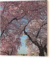 Cherry Blossoms 2013 - 024 Wood Print