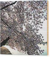Cherry Blossoms 2013 - 092 Wood Print
