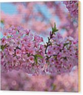 Cherry Blossoms 2013 - 095 Wood Print