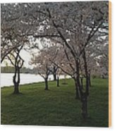 Cherry Blossoms Along The Potomac Wood Print