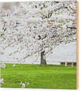 Cherry Blossoms On The Shore Of Fort Mchenry Wood Print by Susan Schmitz