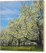 Cherry Blossoms Wood Print by Thomas Pettengill