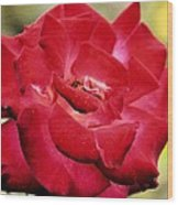 Cherry Cream Rose Wood Print