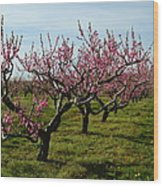Cherry Trees Wood Print
