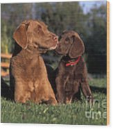 Chesapeake Bay Retrievers Wood Print