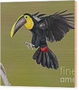 Chestnut-mandibled Toucan Landing Wood Print