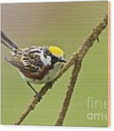 Chestnut-sided Warbler Pictures 49 Wood Print