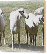 Cheviot Sheep 2 Wood Print