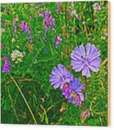 Chicory And Purple Vetch Along Rivier Du Nord Trail In Laurentians-quebec Wood Print