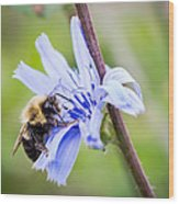 Chicory Bee Wood Print