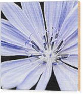 Chicory Flower Macro Wood Print