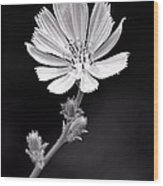 Chicory Wildflower Wood Print