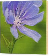 Chicory With Morning Dew Wood Print