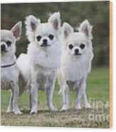 Chihuahua Dogs Wood Print