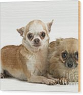 Chihuahua Puppy Dogs Wood Print