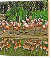 Chilean Flamingo Reflection In San Diego Zoo Safari Park In Escondido-california Wood Print