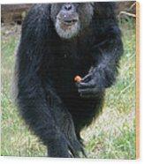Chimpanzee-5 Wood Print