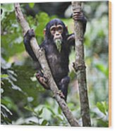 Chimpanzee Baby Eating A Leaf Tanzania Wood Print
