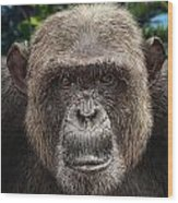 Chimpanzee Male Wood Print